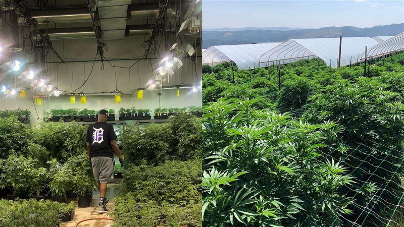 另類「災難財」?球星賣大麻銷量翻倍