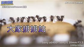 ▲螞蟻們吸取飼料時雙腳會微微擺動。(圖/臺灣蟻窟授權)