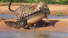 美洲豹,鱷魚,霸主。(圖/翻攝自Discovery Yu YOUTUBE)