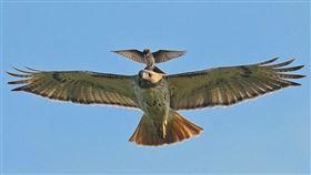 老鷹,紅尾老鷹,必勝鳥(圖/攝影者William Jobes, Flickr CC License) https://www.flickr.com/photos/billbirds/4804899170/in/photostream/