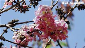 Skyscanner,賞花,繡球花,桐花,花旗木,海芋 圖/Skyscanner提供