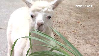 台南動物園半開放式 近距離接觸羊駝
