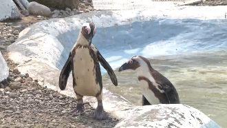 來看企鵝游泳消消暑 小朋友開心圍觀