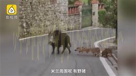 武漢肺炎,義大利,米蘭,封城,野豬,鹿(圖/翻攝自梨視頻)