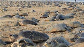 人類被按下暫停鍵…28萬瀕危海龜「湧入海灘集體產卵」!▲。(圖/翻攝自bipro_seas IG)