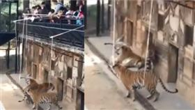 遊客拿杆綁肉「釣老虎」 超扯影片曝光(圖/翻攝自微博@火巳視頻)