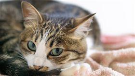 研究報告指出,貓咪會感染新型冠狀病毒,但狗似乎有較強抵抗力。(圖取自PAKUTASO圖庫)