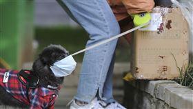 中國公布可吃畜禽名單  狗屬伴侶要禁食中國宣示全面禁食野味後,中國農業農村部8日展開意見徵求,共有31種畜禽列入可食用等商業用途,並指狗狗已「特化」為伴侶動物,屬不可食畜禽。圖為安徽合肥,戴口罩的寵物狗和主人一起外出取快遞。(中新社提供)中央社  109年4月9日