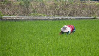 台灣稻米夠吃1年 不怕疫情造成缺糧