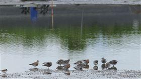 宜蘭養殖魚塭化身大飯廳 餵飽國際瀕危候鳥為拯救近年快速減少的「東亞澳遷徙線」上候鳥,林務局羅東林區管理處4月輔導宜蘭4名養殖業者,鼓勵他們在養殖空檔時,延長魚塭曬池時間,讓魚塭維持泥灘地狀況,當成候鳥過境的大飯廳,讓牠們有足夠體力飛往下一站。(羅東林管處提供)中央社記者沈如峰宜蘭縣傳真 109年4月10日
