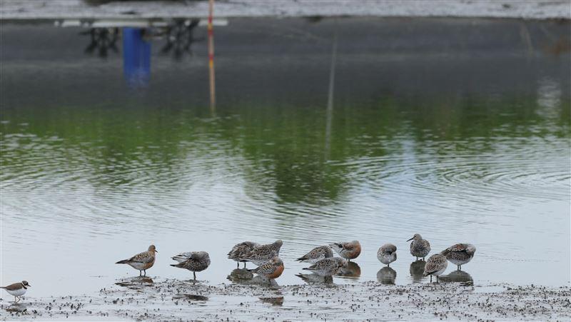 宜蘭魚塭化身大飯廳 餵飽國際瀕危候鳥