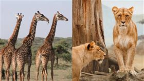 獅群硬上長頸鹿 交纏4h結局意外(圖/翻攝自Pixabay)