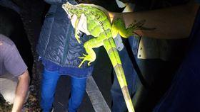 台東又現綠鬣蜥(1)幾年前流行飼養綠鬣蜥,台東縣從民國104年陸續在野外發現零星個體,研判是遭人棄養,這半個月在台東市區、東海岸連續發現2起。圖為4月4日在東海岸捕獲的綠鬣蜥。(民眾提供)中央社記者盧太城台東傳真 109年4月11日
