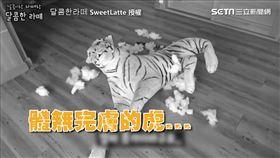 ▲哈士奇將玩偶誤認成真的老虎。(圖/달콤한라떼SweetLatte)