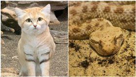 沙漠貓,角蝰(圖/翻攝自那須どうぶつ王国推特、攝影者Thomas Maaßen, Flickr CC License) https://reurl.cc/j7RkWn