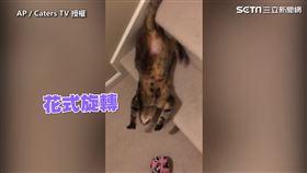 ▲短毛貓Posey擁有特殊技能,可以用前滾翻下樓。(圖/AP/Caters TV 授權)