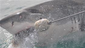 大白鯊,天敵,虎鯨,肝臟,消失,殺人鯨,示意圖/pixabay