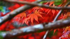 太平山「紫葉槭」(攝影師陳飛提供,必註明)