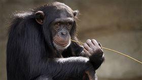 奇特無毛猩猩 下面也赤裸好害羞(圖/翻攝自Pixabay)