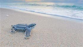 棱皮龜又稱革龜、皮革龜(圖/翻攝自the living sea)