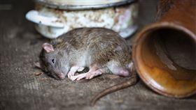 -老鼠-(圖/pixabay)