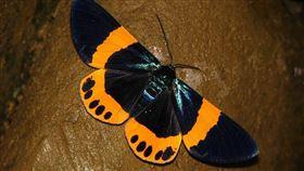 彰化,田尾,蟲,橙帶藍尺蛾