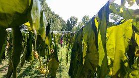 金門海帶養殖產業有成 30日水試所販