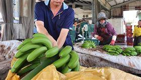 疫情拉升訂單 看見台蕉外銷前景(1)武漢肺炎(2019冠狀病毒疾病,COVID-19)疫情延燒,3月占日本香蕉進口量6成多的菲律賓疫情比台灣嚴重,訂單於是轉到台灣,供貨日本的屏東蕉農余致榮的集貨場忙著篩選、包裝銷日香蕉。中央社記者郭芷瑄攝 109年4月25日