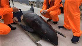 大甲岸邊發現死亡瓜頭鯨 專家帶回釐清死因海巡署27日在台中大甲岸際邊,發現一隻死亡鯨豚,經專家確認為瓜頭鯨,後續將由中華鯨豚協會帶回國立自然科學博物館做進一步檢查,以釐清死亡原因。(海巡署中部分署第三岸巡隊提供)中央社記者蘇木春傳真 109年4月27日