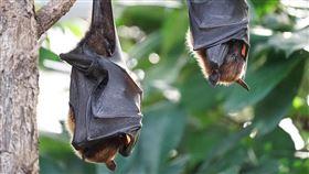 蝙蝠(Pixabay)