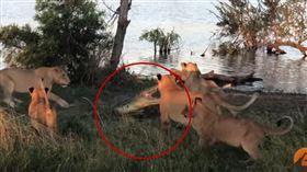 5頭母獅圍攻野生巨鱷!牠靈敏一動作…網全驚呆:勝負已分(圖/翻攝自Kruger Sightings YouTube)