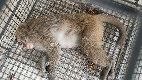 台灣獼猴闖入台東校園 受困男廁遭逮