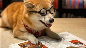 萌!柴犬Q將變身誠品敦南一日店長。(圖/記者馮珮汶攝)