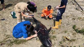 嘉義布袋沙灘發現6隻小虎鯨擱淺亡嘉義縣布袋鎮好美里沙灘1日出現6隻鯨豚屍體,海巡署獲報到場處理,經海洋生物專家初步研判為小虎鯨,可能是急性感染後死亡。(海巡署提供)中央社記者蔡智明傳真 109年5月1日