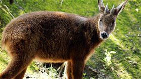 保育動物,獵人,捕獸,山羊,新店,新北(圖/翻攝自維基百科)