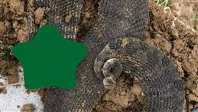 豬鼻蛇,毒蛇,蛇科,響尾蛇