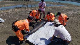 嘉義布袋沙灘又見小虎鯨死亡嘉義縣布袋第三漁港附近沙洲4日發現一隻鯨豚屍體,海巡署獲報到場處理,經專家研判為小虎鯨,可能是溺水死亡,應與日前布袋好美里沙灘擱淺的小虎鯨為同一族群。(海巡署提供)中央社記者蔡智明傳真 109年5月4日