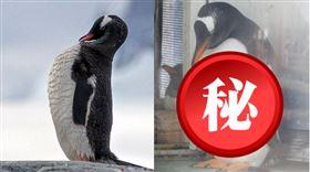 ▲北海道水族館上傳了一張「企鵝腹肌」照片後引發熱議。(圖/翻攝自推特)