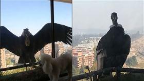 全國隔離!驚見「巨大猛禽」佇立窗前 網嚇壞:沒親眼看過(圖/翻攝自臉書)