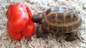 ▲可愛烏龜吃什麼?(圖/翻攝自YouTube)