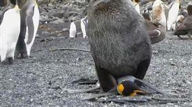 ▲可憐的國王企鵝。(圖/翻攝自影片)
