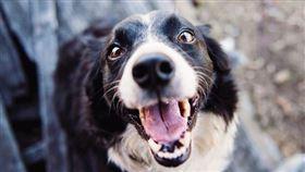 狗狗,吐舌頭,翻攝自pexels