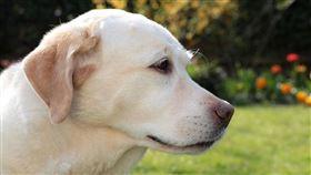拉不拉多,狗(圖/翻攝自pixabay)