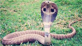 眼鏡蛇,毒蛇 圖/pixabay