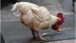 半夜遇雞在超商閒晃!網警告千萬別抓…曝驚悚內幕:會煞到(圖/翻攝自Dcard)
