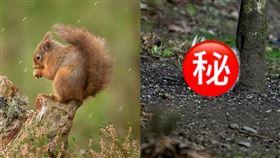 超可愛!紅松鼠「毛色雪白」絕美現身 英國,歐亞紅松鼠,白變症,可愛,稀有 翻攝自Saving Scotland's Red Squirrels Chris Eddington、Raymond Leinster攝影