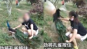 中國雲南,昆明野生動物園,孔雀遭遊客虐待,拍照拔毛。(圖/翻攝自微博)