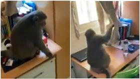 台灣獼猴,雲科大,宿舍,雲林