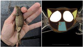 超肥蜥蜴「體內真貌」曝光 專家嚇壞(圖/翻攝自佛羅里達州博物館)