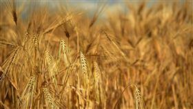 大麥,穀物,農田,糧食(圖/翻攝自pixabay)